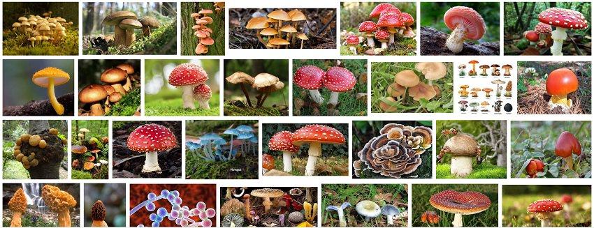 hongos superalimentos