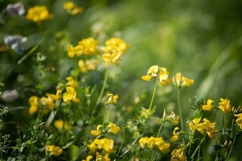 flores de fenogreco superalimentospro