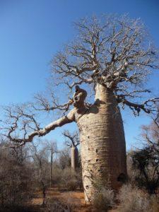 Arbol Baobab