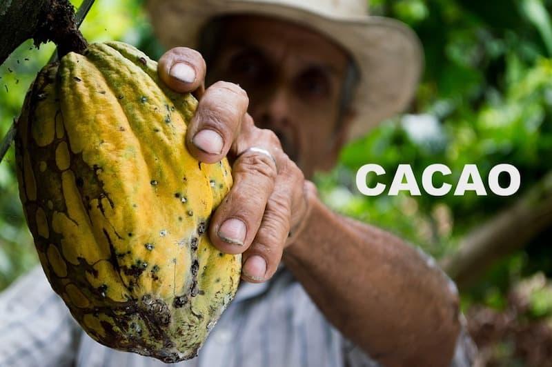 Fruto cacao natural